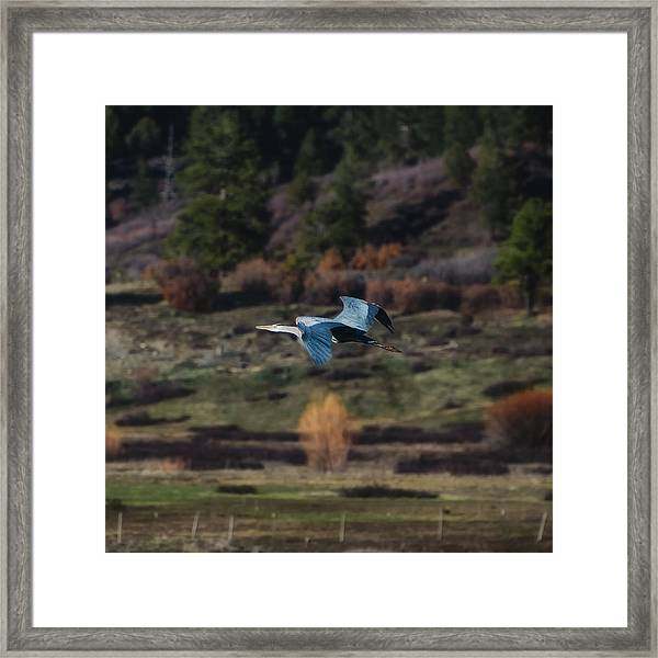 Framed Print featuring the photograph Great Blue Heron In Flight II by Jason Coward