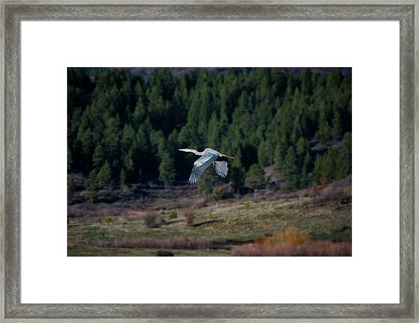 Framed Print featuring the photograph Great Blue Heron In Flight by Jason Coward