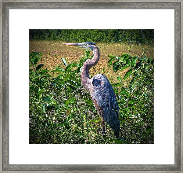 Great Blue Heron In The Florida Everglades Framed Print
