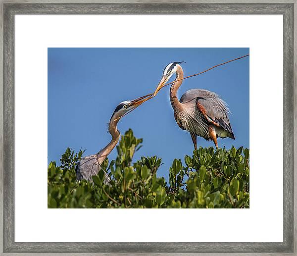 Great Blue Heron Nest Building Framed Print