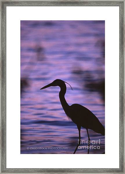 Great Blue Heron Photo Framed Print
