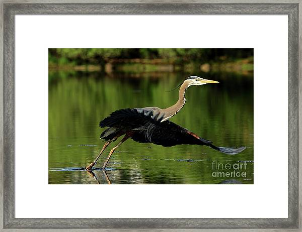 Great Blue Heron - Over Green Waters Framed Print