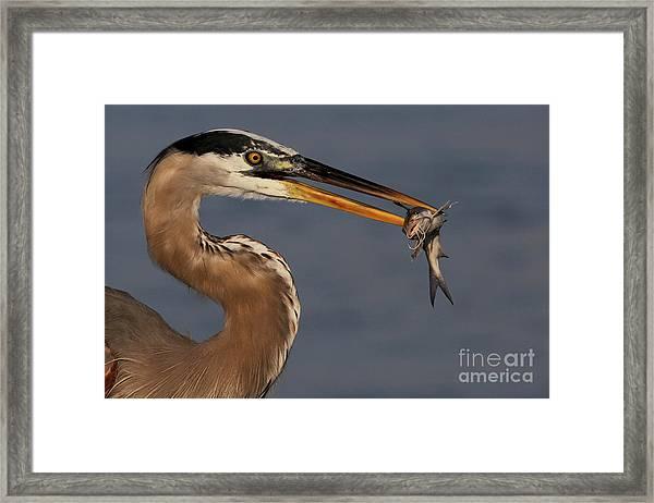 Great Blue Heron W/catfish Framed Print