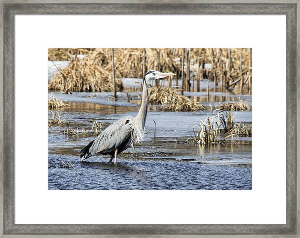 Great Blue Heron Wading  Framed Print