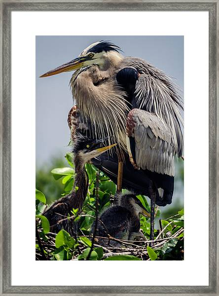 Great Blue Heron With Babies Framed Print