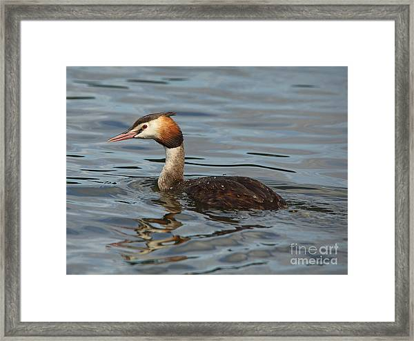 Great Crested Grebe Framed Print
