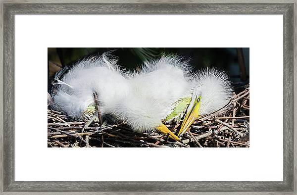 Great Egret Chicks Framed Print