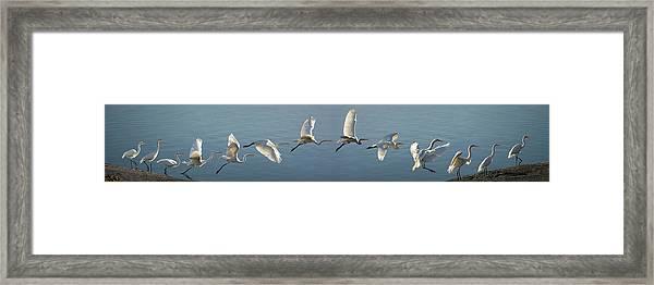 Great Egret Flight Sequence Framed Print