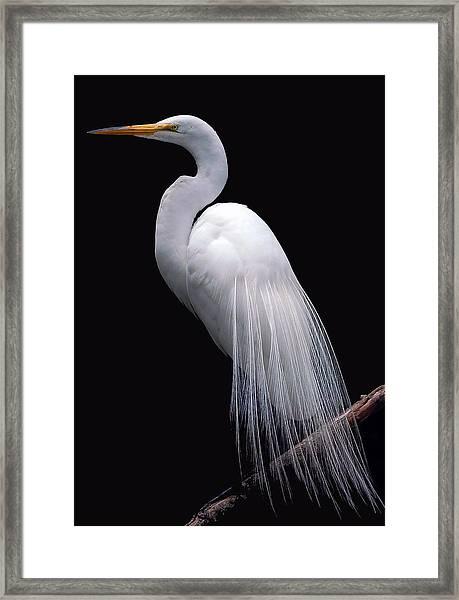 Great Egret II Framed Print