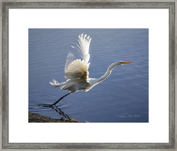 Great Egret Taking Flight Framed Print