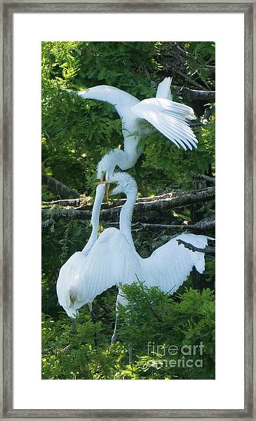 Great Egrets Horsing Around Framed Print
