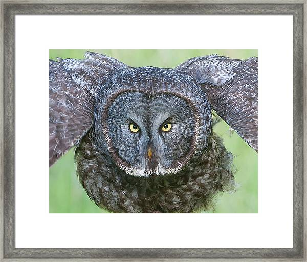 Great Gray Owl Flight Portrait Framed Print