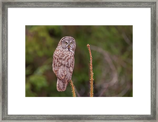 Great Gray Owl Pose Framed Print