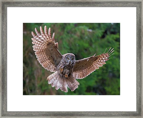 Great Gray Owl Swoop Framed Print by Loree Johnson