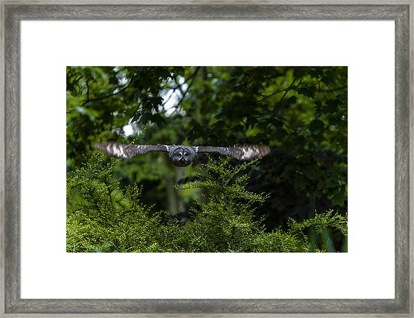 Great Grey Owl In Flight Framed Print