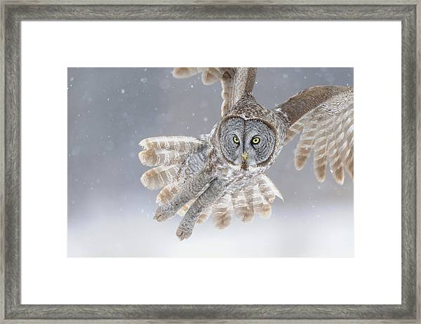 Great Grey Owl In Snowstorm Framed Print