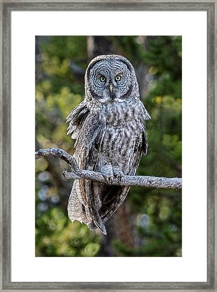 Great Grey Owl Yellowstone Framed Print