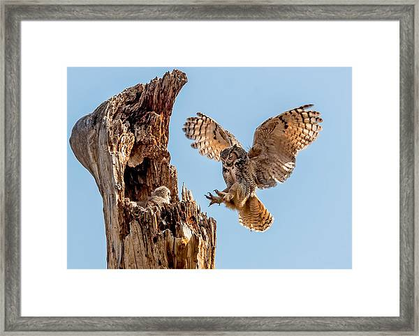 Great Horned Owl Returning To Her Nest Framed Print