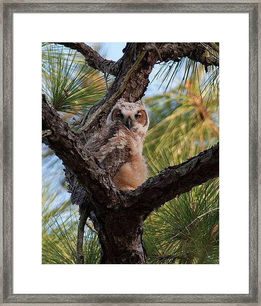 Great Horned Owlet Framed Print