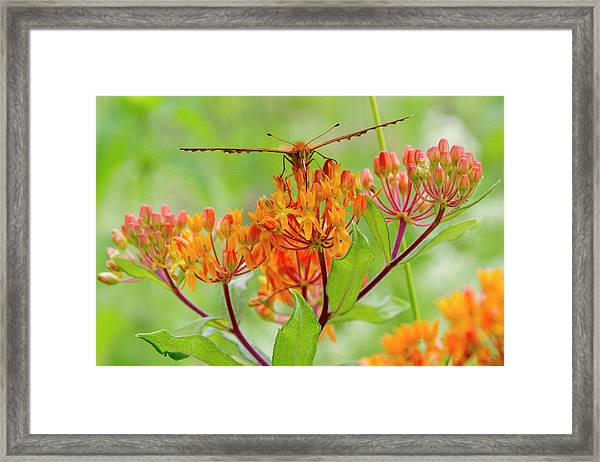 Great Spangled Fritillary II Framed Print