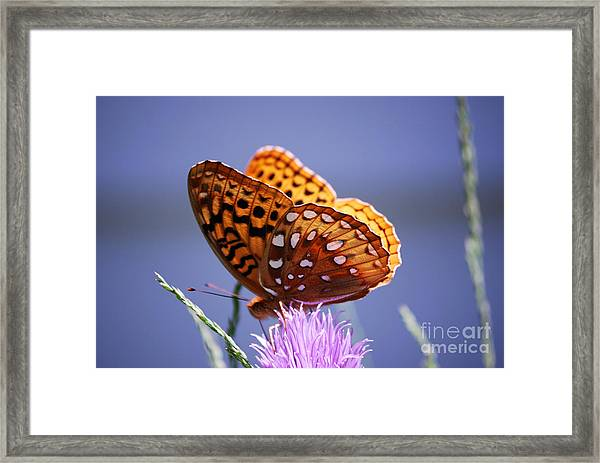 Great Spangled Fritillary Framed Print
