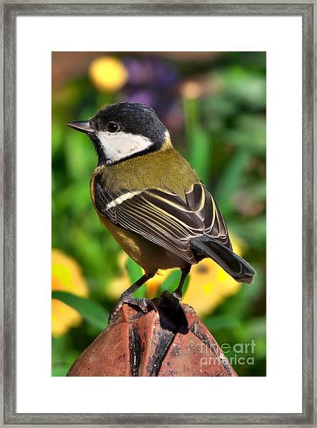 Great Tit British Bird Parus Major Framed Print