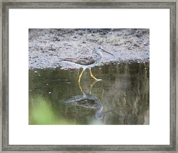 Greater Yellowleg Framed Print