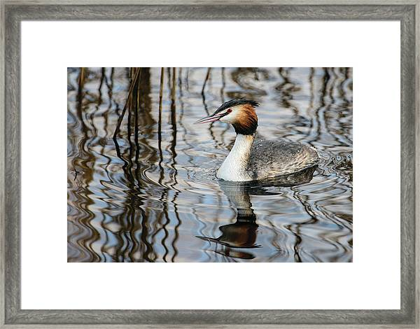 Grebe And Reflections Framed Print