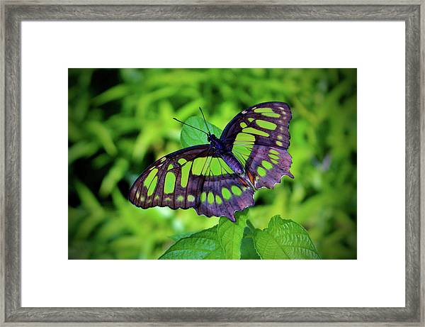 Green And Black Butterfly Framed Print