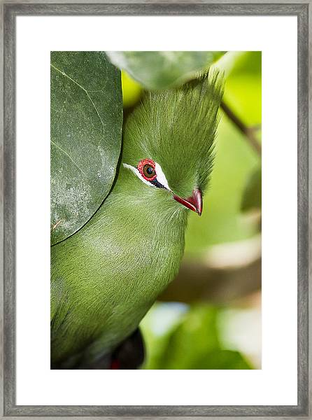 Framed Print featuring the photograph Green Turaco Bird Portrait by Bob Slitzan
