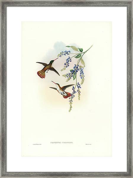 Framed Print featuring the painting Green-fronted Hummingbird Amazilia Viridifrons by John and Elizabeth Gould