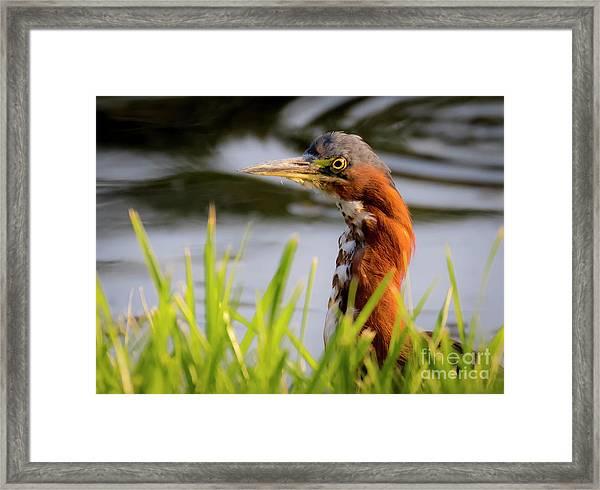 Green Heron Closeup  Framed Print