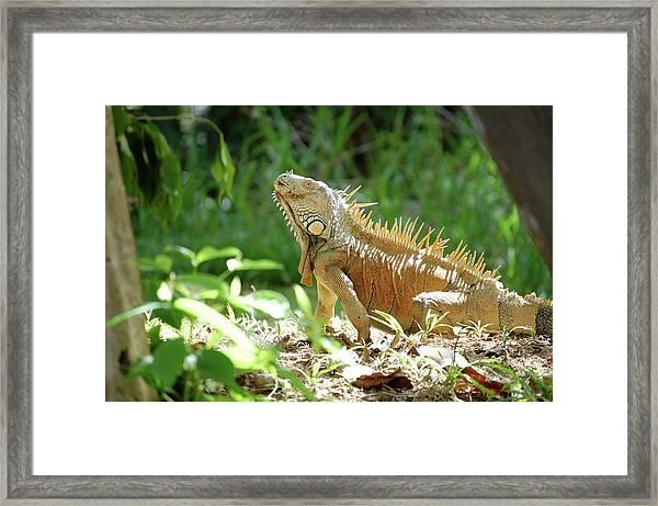 Framed Print featuring the photograph Green Iguana, Iguana Iguana by Breck Bartholomew