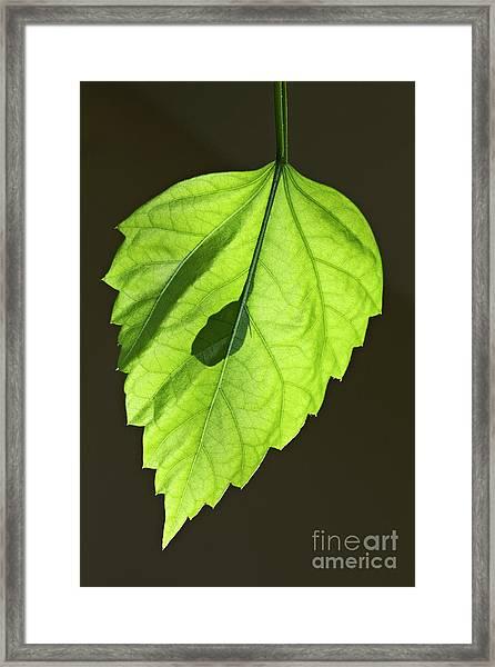 Green Hibiscus Leaf Framed Print