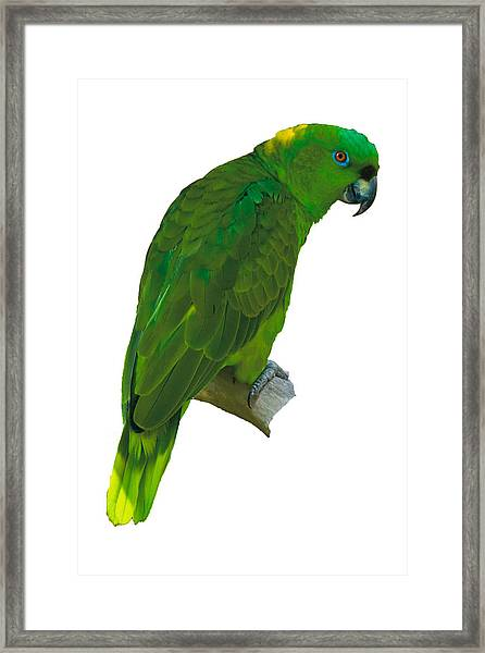 Green Parrot On White  Framed Print