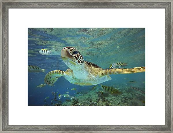 Green Sea Turtle Chelonia Mydas Framed Print