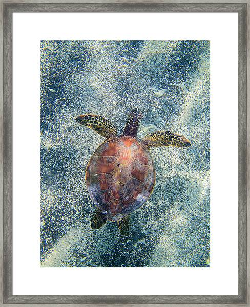Green Sea Turtle From Above Framed Print