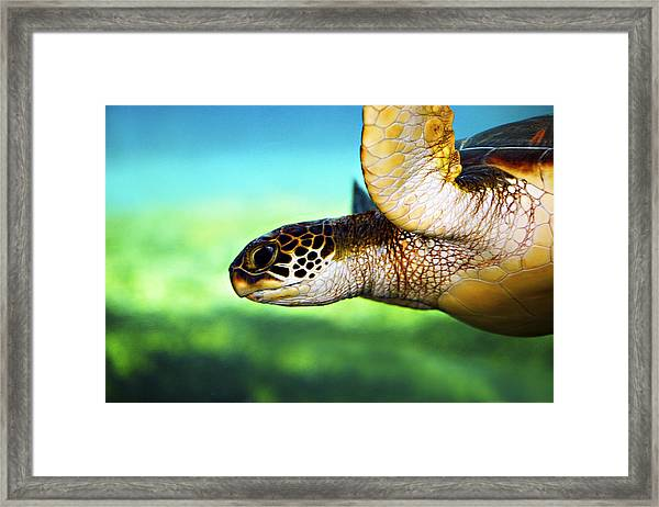 Green Sea Turtle Framed Print