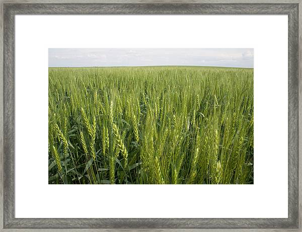 Framed Print featuring the photograph Green Wheat by Dylan Punke