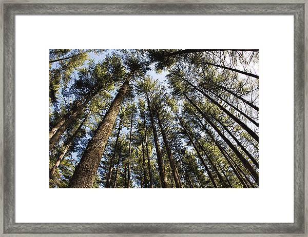 Greenbank Pines Framed Print