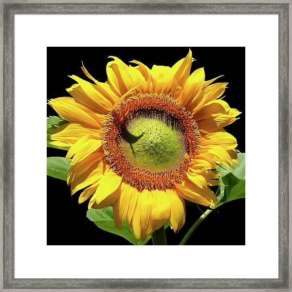 Greenburst Sunflower Framed Print