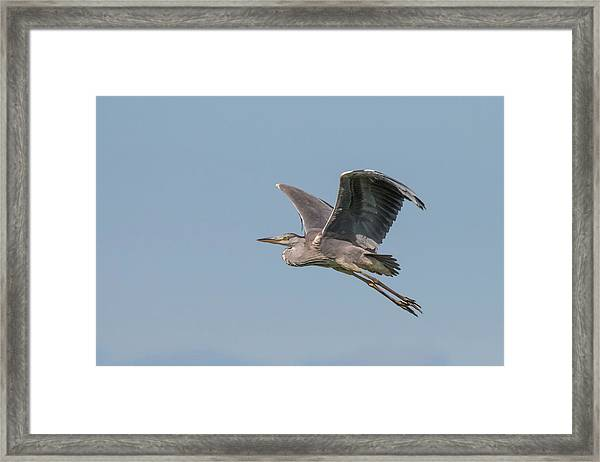 Grey Heron Framed Print