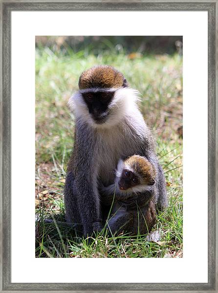 Grivet Monkey At Lake Awassa Framed Print