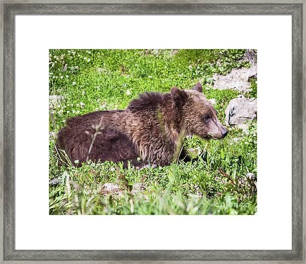 Grizzly Cub  Framed Print