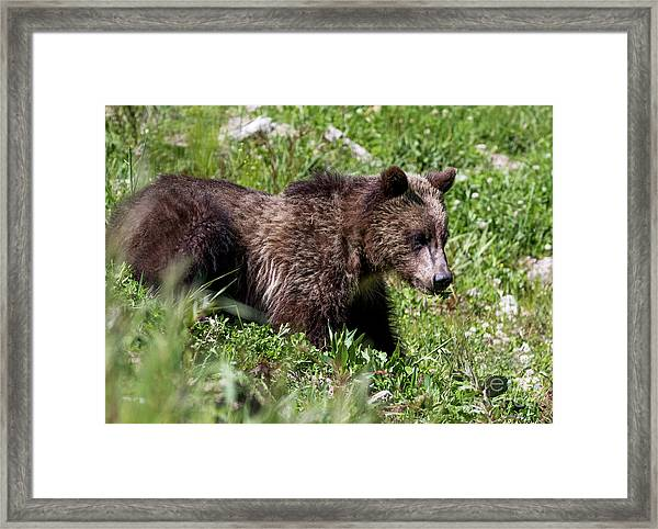 Grizzly Cub  Framed Print