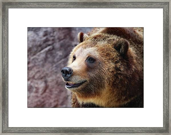 Grizzly Smile Framed Print