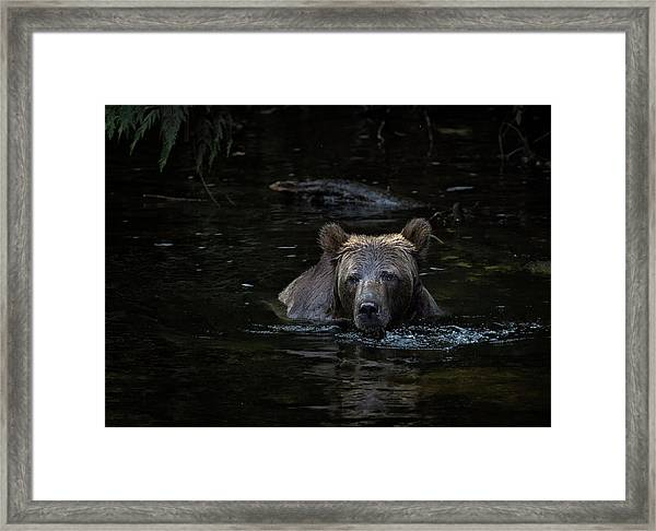 Framed Print featuring the photograph Grizzly Swimmer by Randy Hall
