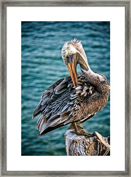 Grooming Session, California Brown Pelican Framed Print