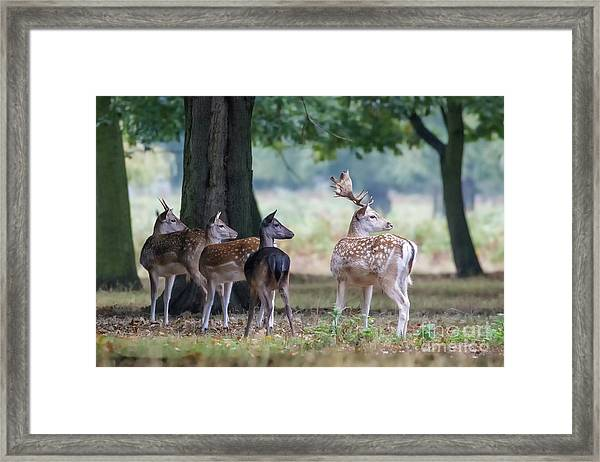 Group Of Four Fallow Deer - Dama Dama - Startled By Something On T Framed Print