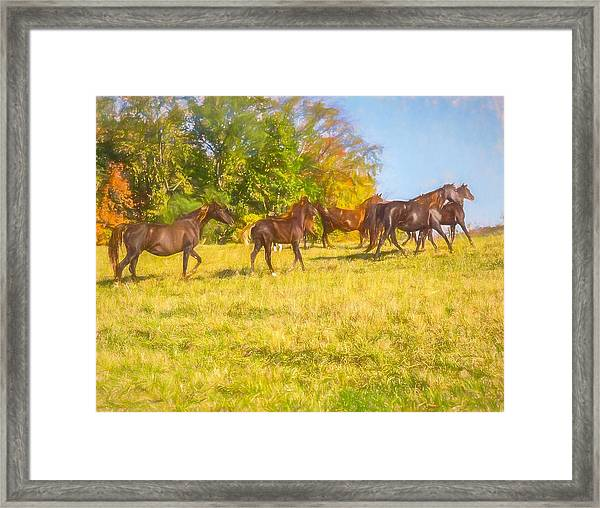 Group Of Morgan Horses Trotting Through Autumn Pasture. Framed Print